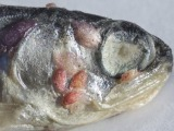 Wild salmon stocks 'wiped out' by sea lice