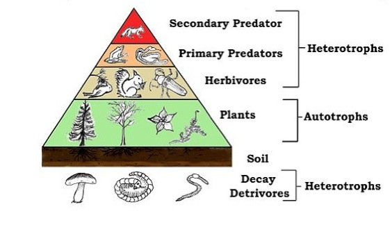 The food chain can be simplified as follows