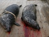 Culled! Seals slaughtered because they are eating farmed fish