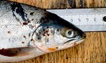 Sea trout with sea lice infestation