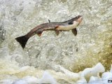 BBC 21 May 2013: Salmon firm Marine Harvest faces call to move fish farms