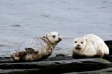 Sunday Times UK, 12 May 2013: Seal campaigners call for salmon farmcull