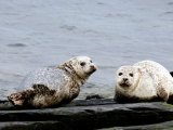 Sunday Times UK, 12 May 2013: Seal campaigners call for salmon farm cull