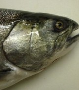 Under Current News, 12 June 2013: Land-based salmon farm to seek out investors across US