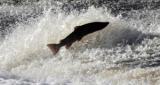 EU Fish News, 28 Oct 2013: Salmon Protestors Target Rivers Trust