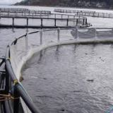 Undercurrent News, 21 Jan 2014: Salmon escapes could be five times larger than reported, say researchers