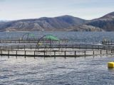 Undercurrent News, 10 Feb 2014: Disease, including AGD, to remain key in 2014 salmon market