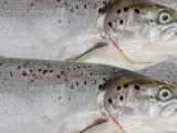 Irish Times, 28 March 2014: Up to 230,000 farmed fish lost in February storm