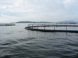 UnderCurrent News, 5 March 2014: Morpol salmon farm loses some 150,000 fish in UK storms