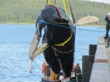 The Press and Journal, 5 July 2014: Humpback Whale died after swimming into fish farm