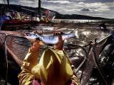 Herald Scotland, 6 November 2016: Oops: fish farm firm kills 175,000 of its salmon byaccident